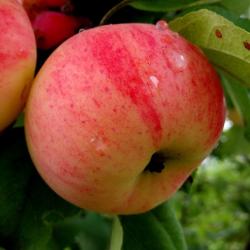 Закладка интенсивного яблочного сада